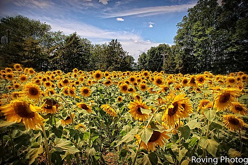 griswold connecticut usa newengland buttonwoodfarms farm sunflowers canon t3i field flowerscolors