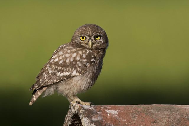 Civetta - Little Owl