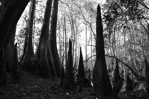 bw usa tree nikon unitedstates florida hiking hike trail cypress airforce usaf baum floridatrail eglin cypressknee eglinafb autochrome okaloosacounty d5000 floridanationalscenictrail fisherbray eglinrangecomplex