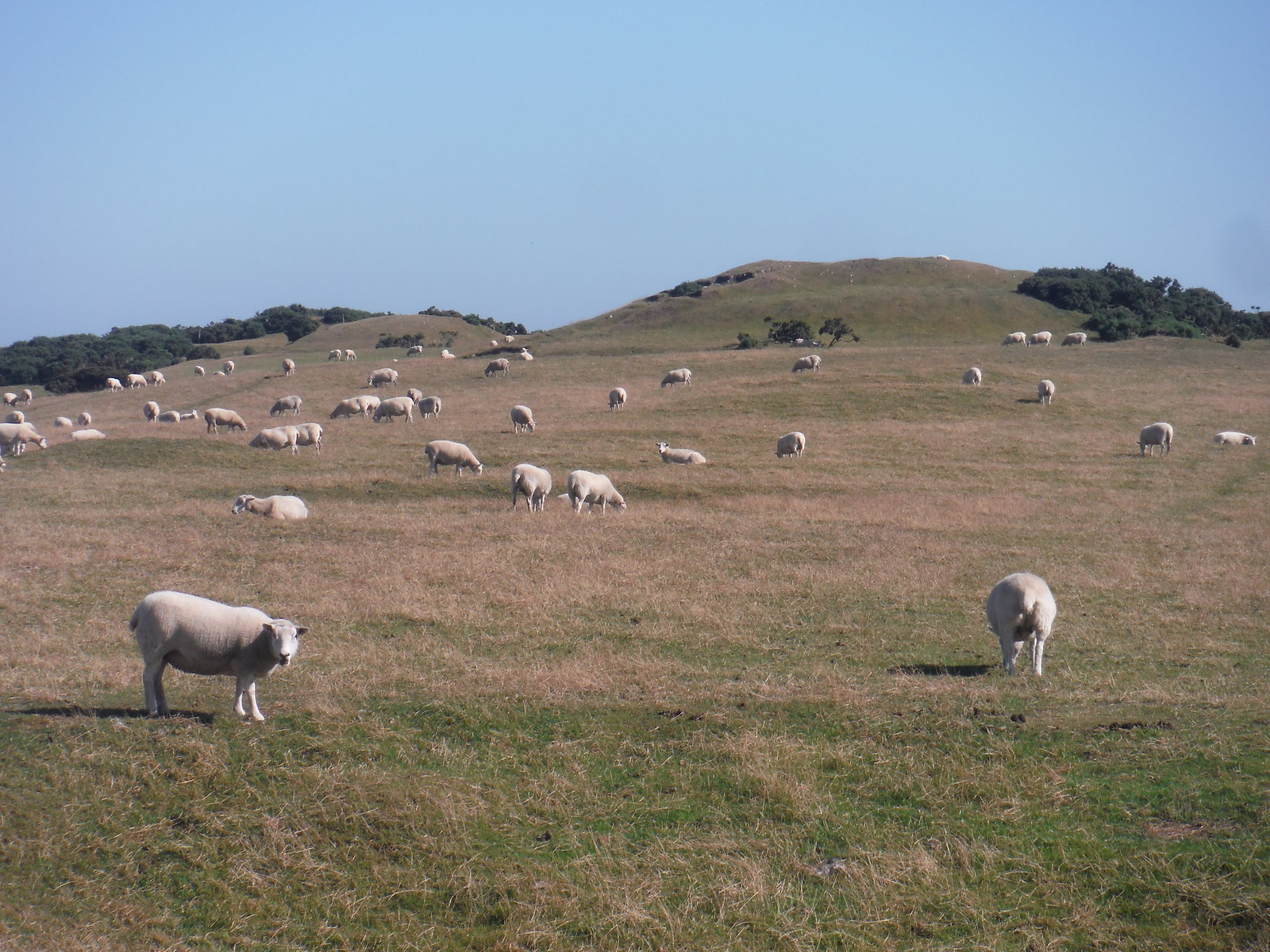 Barrows and Sheep on Bronkham Hill SWC Walk 275 Dorchester South Circular or to Portesham