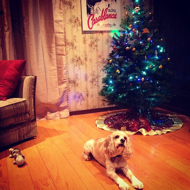 #kvpholiday - All eyes on da bone. Only way Daisy would pose by #Christmas tree #dogstagram #fb