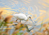 Endangered Black-faced Spoonbill by Okinawa Nature Photography