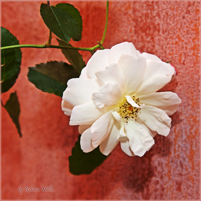 A white rose in its heyday