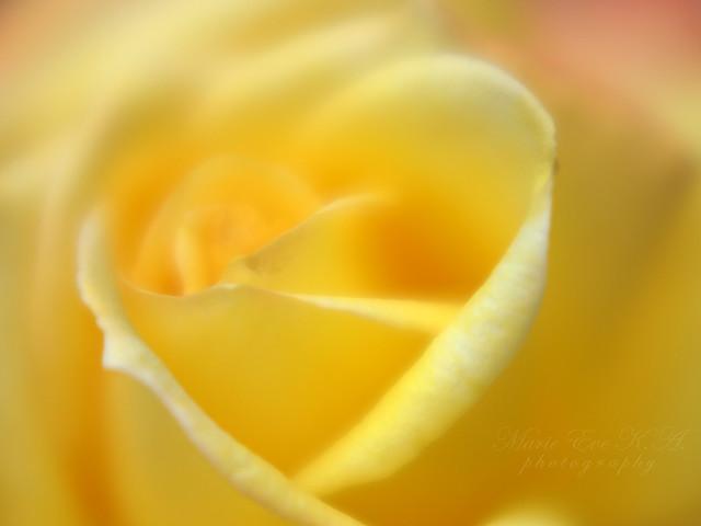 Hidden heart in the rose