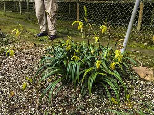 provinciademoronasantiago ecuador orchid tour andes mountains orchids plants plant flower phragmipedium longifolium