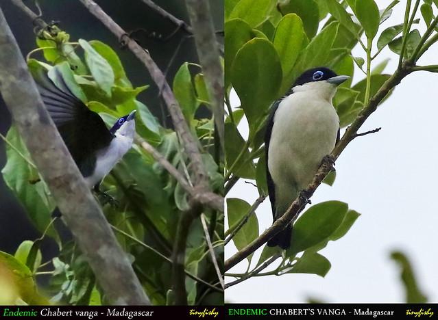 (Species #1224) Endemic CHABERT VANGA  [ Ranomafana National Park, Madagascar ]