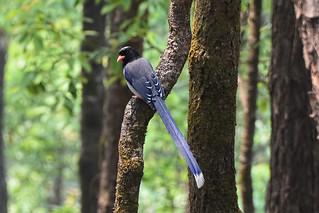 Красноклювая лазоревая сорока, Urocissa erythrorhyncha occipitalis, Red-billed Blue Magpie | by Oleg Nomad