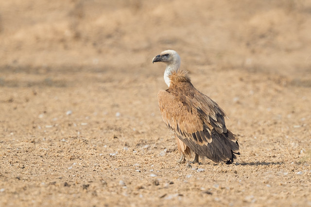 Eurasian Griffon | Gyps fulvus at the Jorbeer Vulture Sanctuary