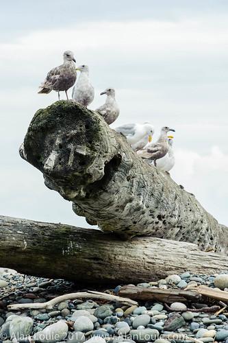 birds dungenessnationalwildliferefuge animals washington featuredanimals sequim unitedstates us