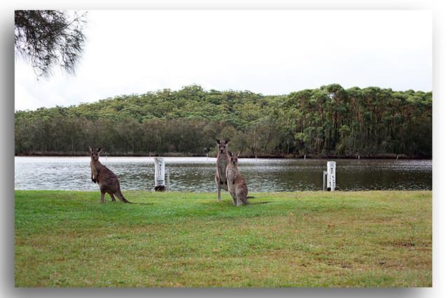 Kangaroos New South Wales South Coast Australia