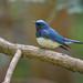 オオルリ(Blue-and-White Flycatcher)