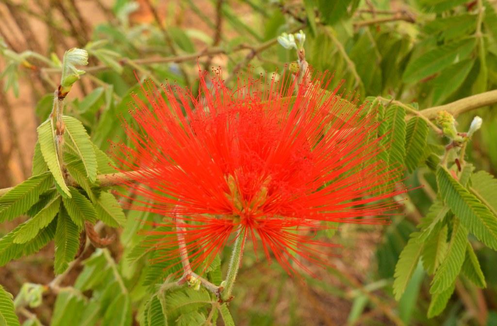 Calliandra -Brésil
