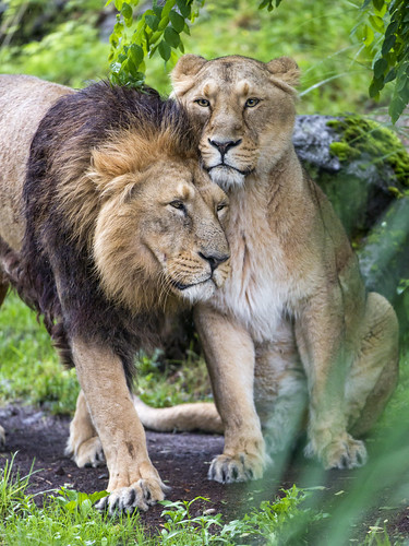 Cuddling lions | by Tambako the Jaguar