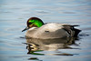 Falcated Duck - Male - 0215 by Len Blumin