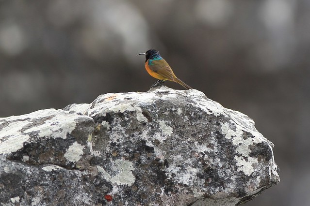 Orange-Breasted Sunbird - A closer look. Table Mountain, Cape Town, South Africa, 2012
