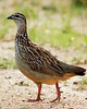 #16 Crested Francolin by bsmity13