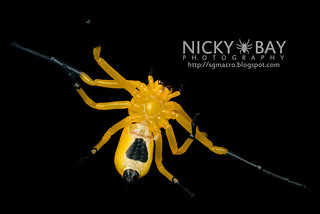 Eight-Spotted Crab Spider (Platythomisus octomaculatus) - DSC_5879 | by nickybay
