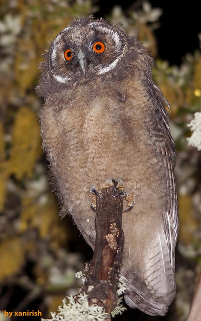 Bufo-pequeno, Long-eared Owl (Asio otus) - em Liberdade [WildLife]