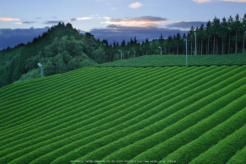 山添村,お茶畑(K70_1050RRS_G,23 mm,F8,iso100)2016yaotomi
