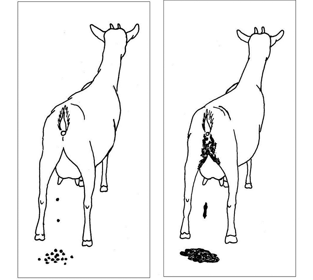 Line drawing of goat droppings (good & bad) | Used as extens