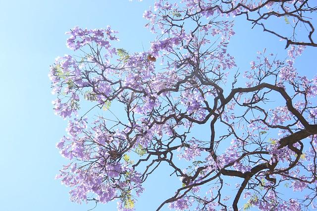 Jacarandas - Beautiful Jacarandas in full bloom. Pretoria, South Africa, 2012.