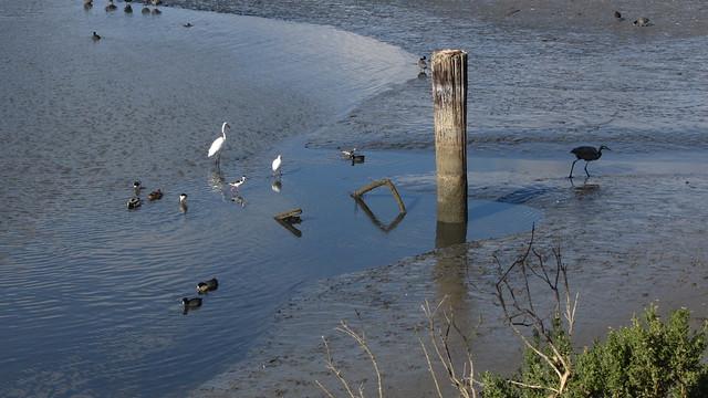 IMG_4991 devereux slough stilt egret duck heron