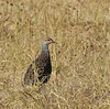 Clapperton's Francolin (Pternistis clappertoni) by Wildlife Fred25