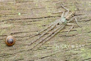 Crab Spider (Tmarus sp.) - DSC_5794