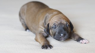 Azawakh Puppy Afouda @ 1 Week | by Brian Reiter