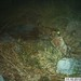 Male Jaguar–Photo Courtesy of UA/USFWS by U.S. Fish & Wildlife Service Southwest Region