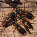 Overwintering European Paper Wasps