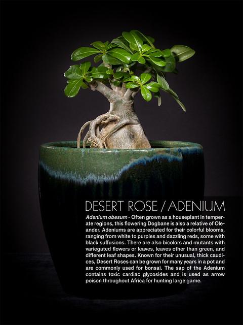 Desert Rose - Adenium