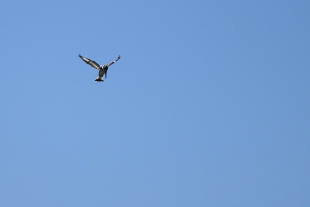 A watchful kingfisher - Pilanesberg, South Africa, 2012