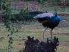 Indian Peafowl (Pavo cristatus) Pfau by Werner Witte