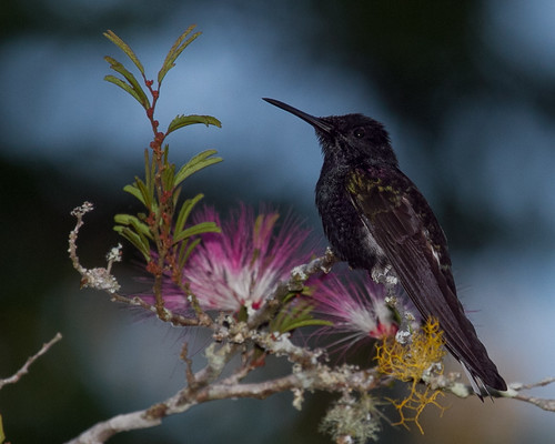 Black Jacobin | by KelleySbirds