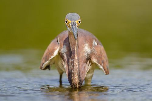 bird heron birds photography birding birdwatching avian tricoloredheron birdphotography specanimal birdperfect