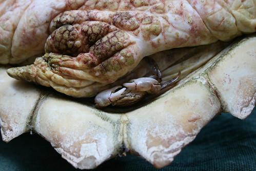 A small crab, Planes minutus (Columbus crab), living on an individual of Caretta caretta (Loggerhead Sea Turtle).