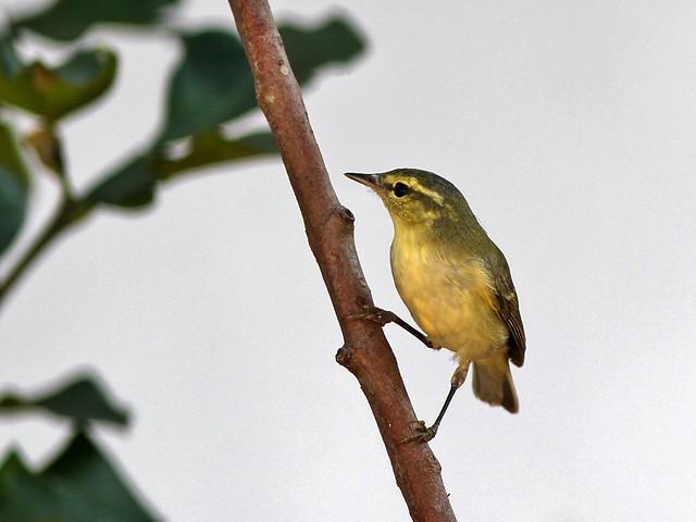 Bright-Green Warbler