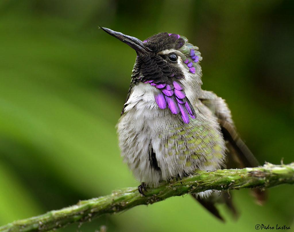 Costa's Hummingbird, Wings of the Tropics, Fairchild Tropical Botanic Garden.