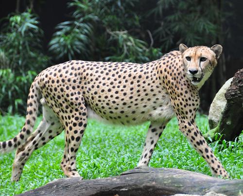 Cheetah | by Michael Gwyther-Jones