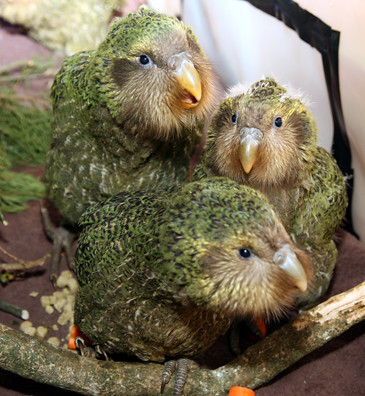 Image result for kakapo