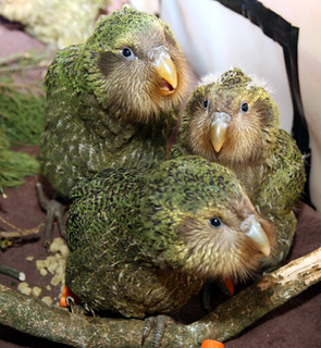 Kakapo chicks | by Department of Conservation