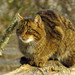 European Wildcat - Photo (c) Chris Parker, some rights reserved (CC BY-ND)