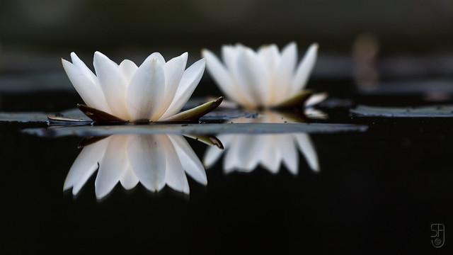 European white water-lily (Nymphia alba)-5730