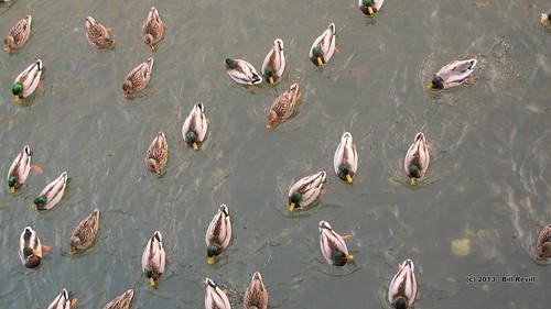 winter duck vermont brattleboro vt whetstonebrook
