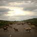 A flock of sheep cross a road in northeastern Mongolia. Mongolia is the land of livestock with more than 30 million livestock, including 13.8 million sheep, 10.2 million goats, 3.1 million cattle, 2.6 million horses and 322,300 Bactrian camels. The livestock is permanently threatened by the fragile condition of pastureland, severe winters and endemic animal diseases. To cope in the short term, herders at the subsistence level may have to sell animals. With fewer animals they find it even harder to survive. Herders are among the poorest of the poor in Mongolia. (U.S. Air Force photo/Master Sgt. Jeremy T. Lock)