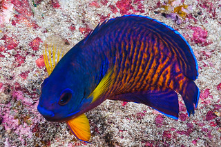 Two-spined Angelfish - Centropyge bispinosa   by zsispeo
