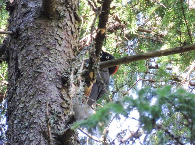 Black  Woodpecker hiding / Schwarzspecht versteckt  sich,