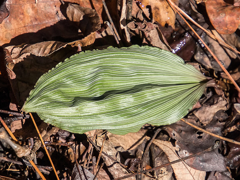 Puttyroot orchid leaf