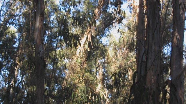 MVI_6539 goleta butterfly grove monarch butterflies active 32s west side looking east